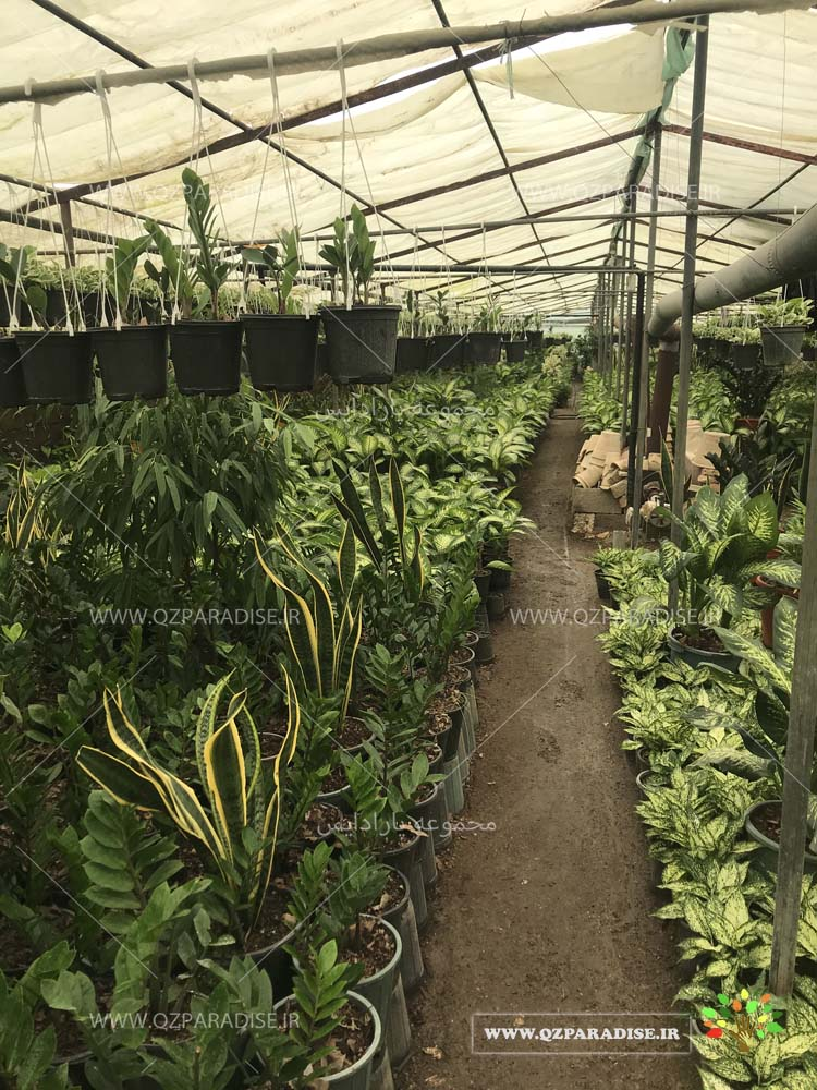 نمای داخلی گلخانه ی داوودی مجموعه پارادایس
