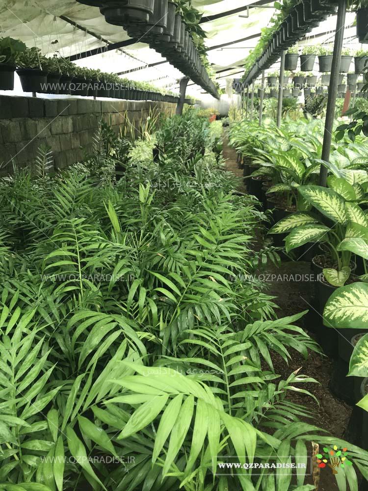 گلخانه تولید گیاهان آپارتمانی رضا حسنی
