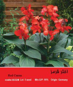 بذر گل اختر قرمز CANNAWYOMING
