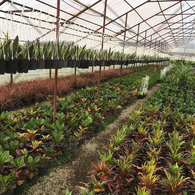 گلخانه گل و گیاه سرو تولید کننده گیاهان زینتی