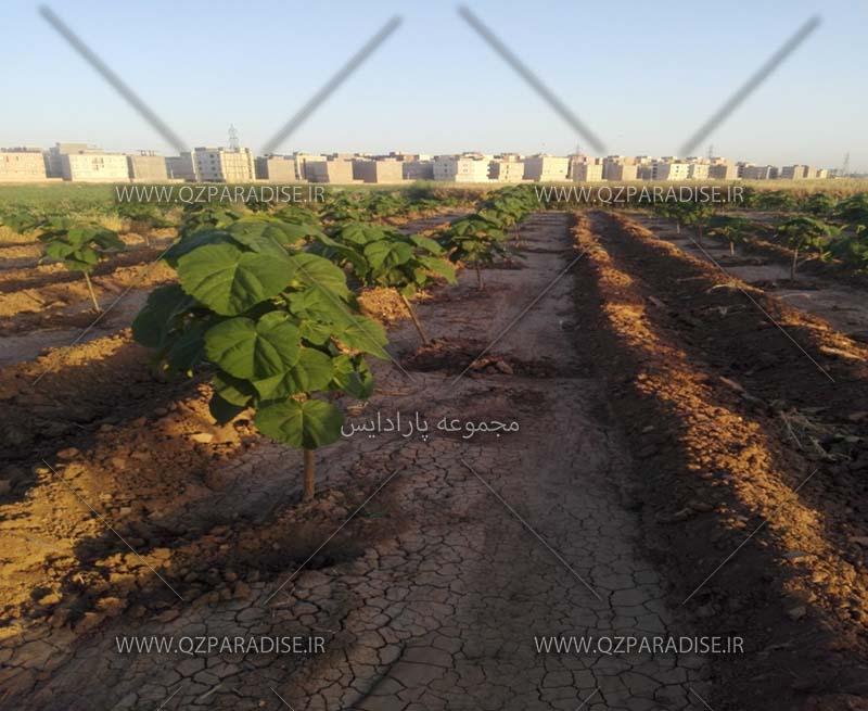 تصویر2.تراکم وفاصله درخت پالونیا.اردیبهشت1396