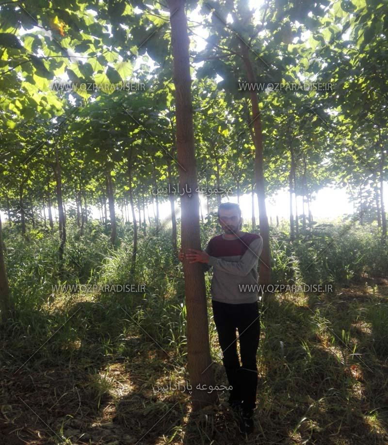 کاشت پائولونیا - رشد درخت پائولونیا - آبیاری درخت پائولونیا - نهال پائولونیا
