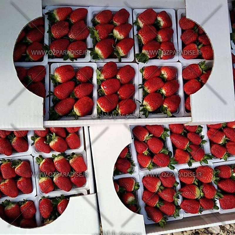 توت فرنگی های بسته بندی شده در توت فرنگستان
