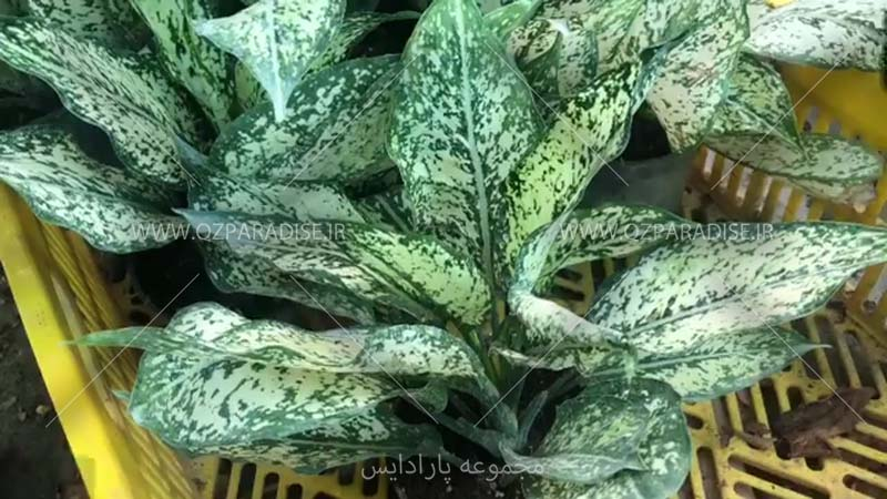 گیاه آگلونما سفید برفی گلخانه گیاهان آپارتمانی نوذری