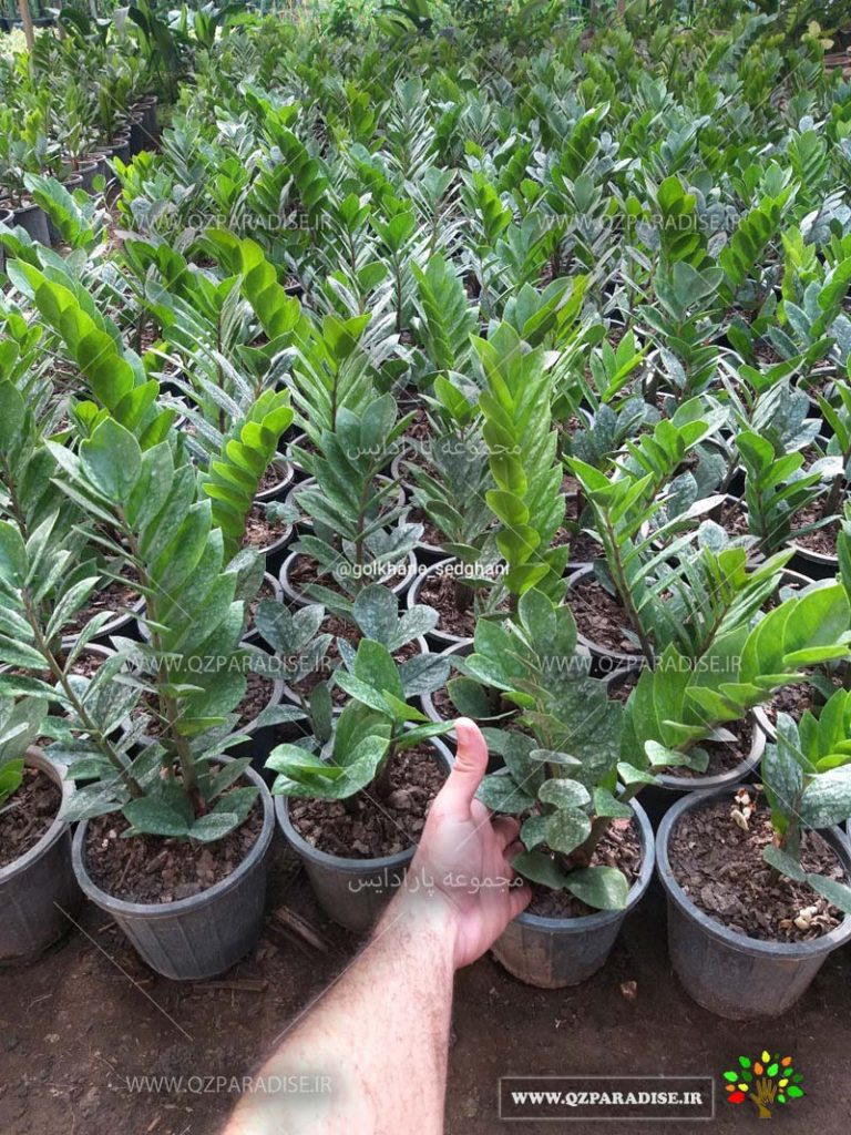 تولید کننده گیاهان آپارتمانی گلخانه صدقانی