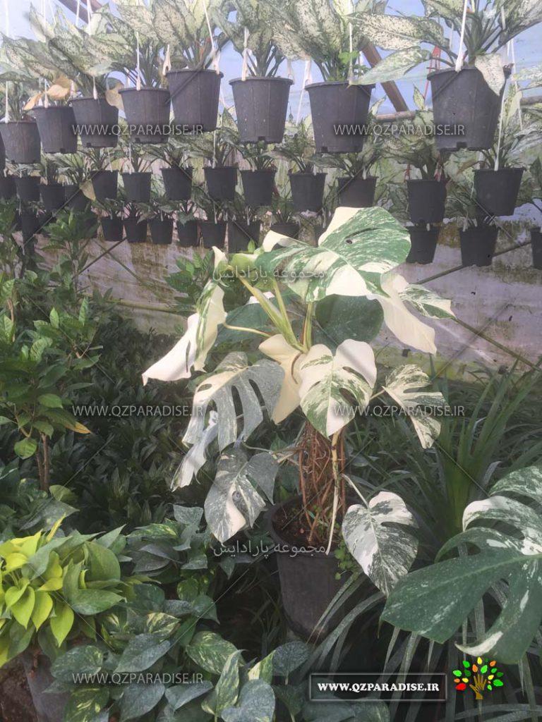 تولید کننده گیاهان آپارتمانی گلخانه کریمی برگ انجیری ابلق