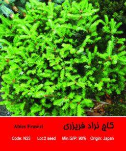 بذر درخت کاج نراد فریزری Abies Fraseri