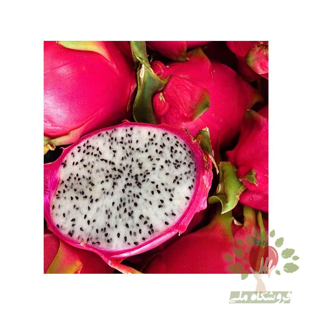 نهال دراگون فروت سفید یا نهال میوه اژدها سفید فروش کلی و جزئی نهال گرمسیری
