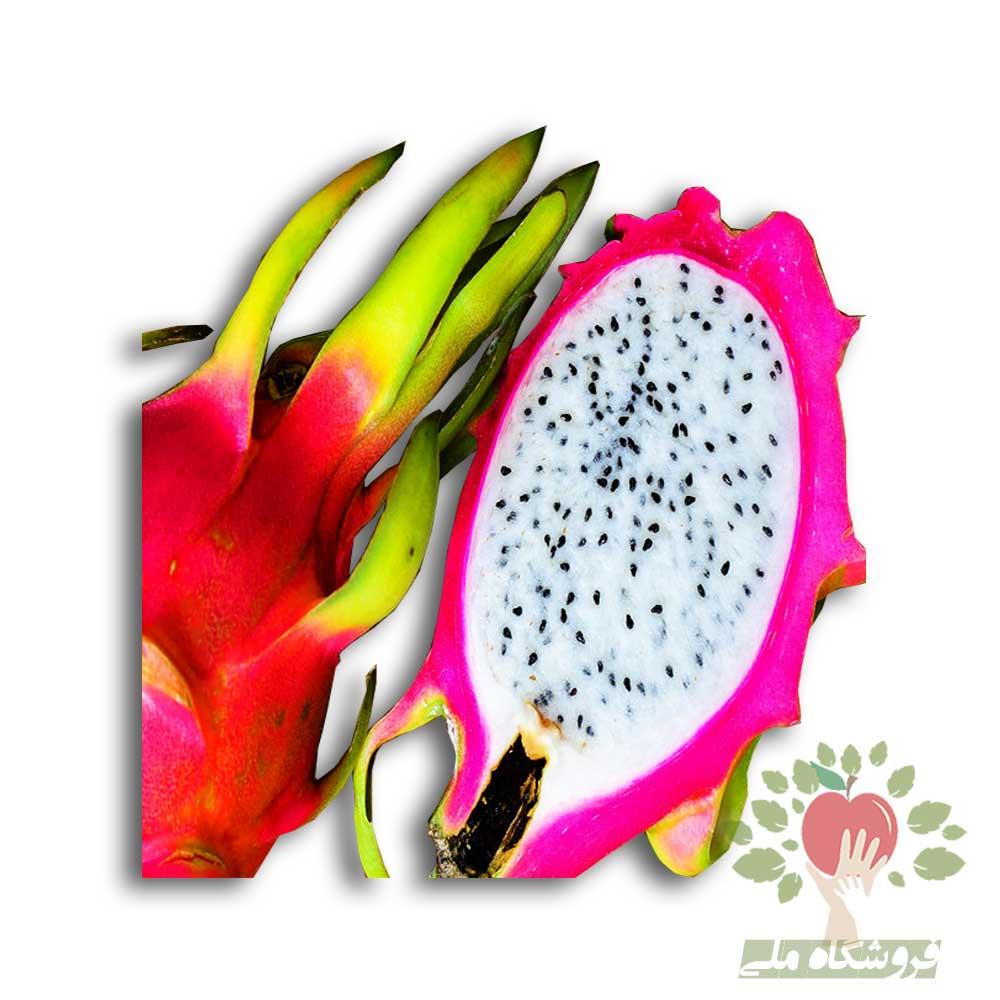 نهال دراگون فروت سفید ( White Dragon Fruit Seedlings)|فروش کلی و جزئی نهال گرمسیری
