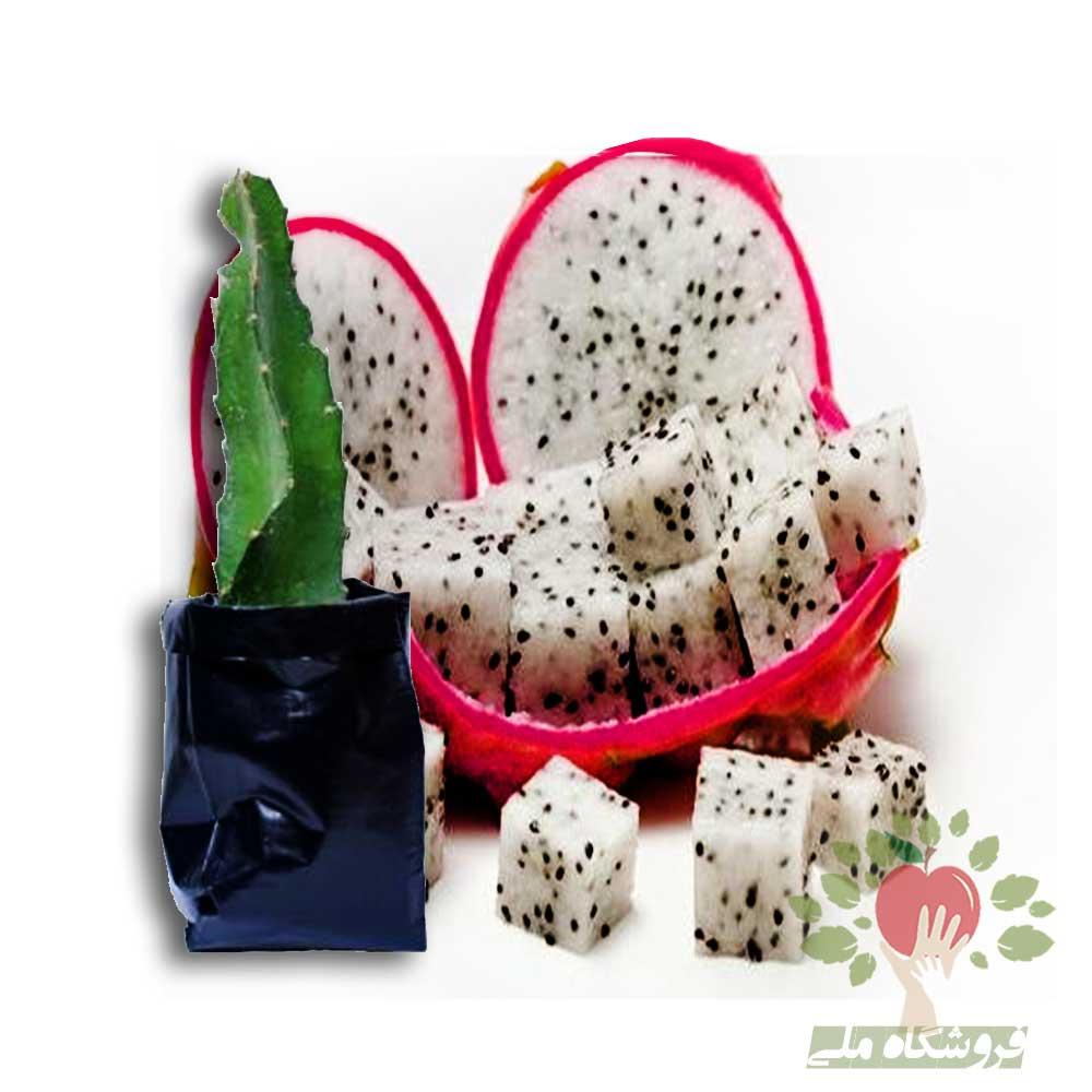 White dragon fruit seedlingss | نهال دراگون فروت سفید