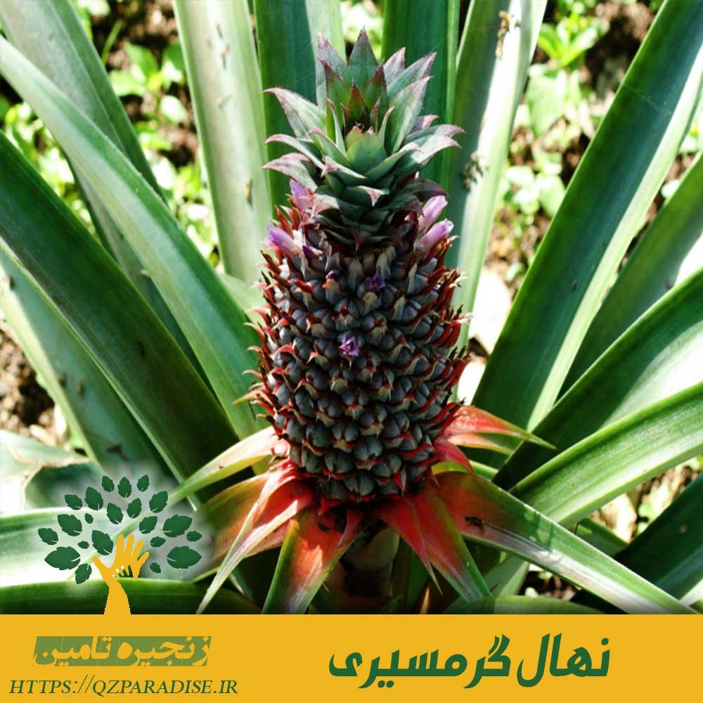گیاه آناناس یک نهال گرمسیری میباشد